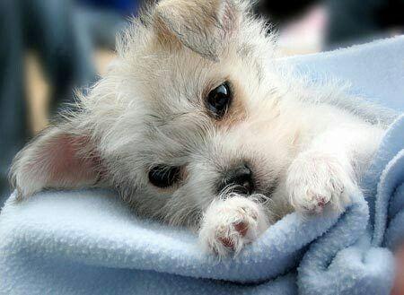 Chihuahua Maltese Mini Fox Terrier Jack Russell Mix