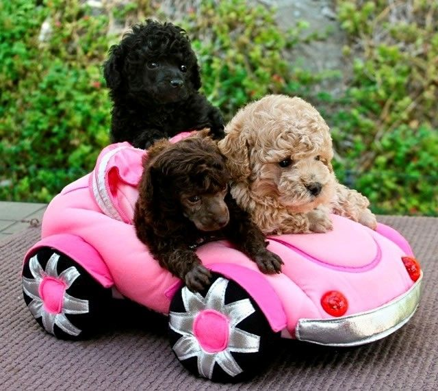 Three Cute Poodle Puppies in their Toy Car Poodle Dogs