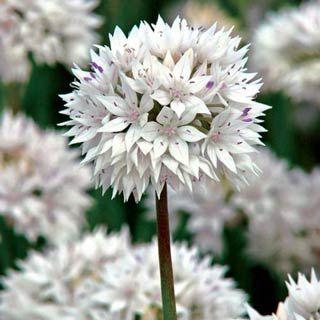 Shade Perennials Allium Graceful Bulb Flowers Onion Flower White Flowers
