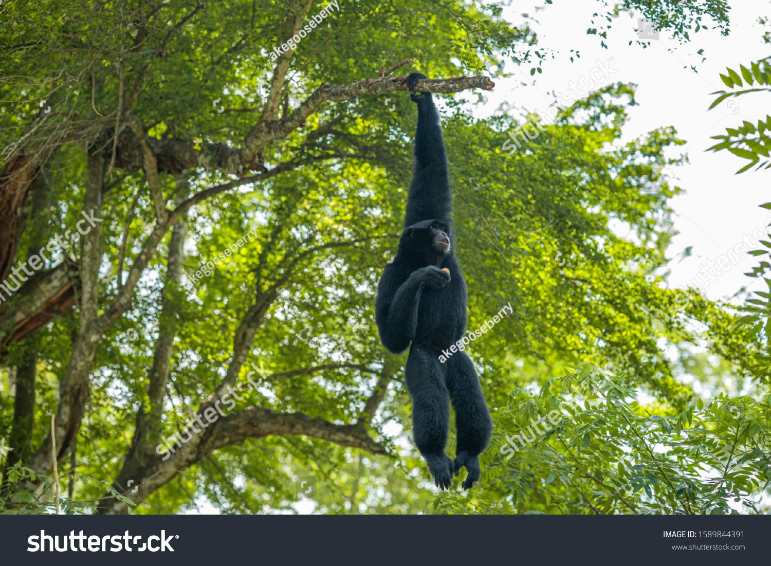 Gibbons On Tree White Hand Gibbon Hanging From The Tree Branch White Handed Gibbon Is Jumping In The Forest Animal In The W In 2020 Gibbon Animals Wild Stock Photos