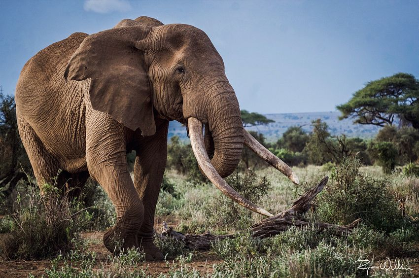 Old Bull Elephant Animals Wild Bull Elephant Wild Elephant