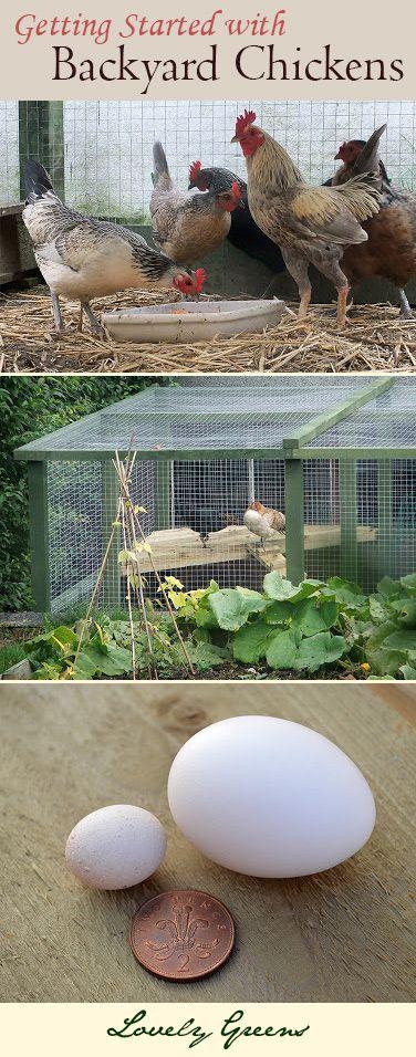 Hühner lassen sich gut in Gärten halten.