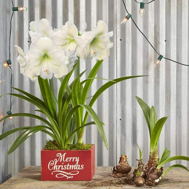 How To Care For Holiday Amaryllis Gift Plants Amaryllis Plant