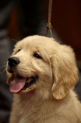 Three Ways To Discover If Your Puppy S A Prodigy Retriever Puppy Dogs Golden Retriever Golden Retriever