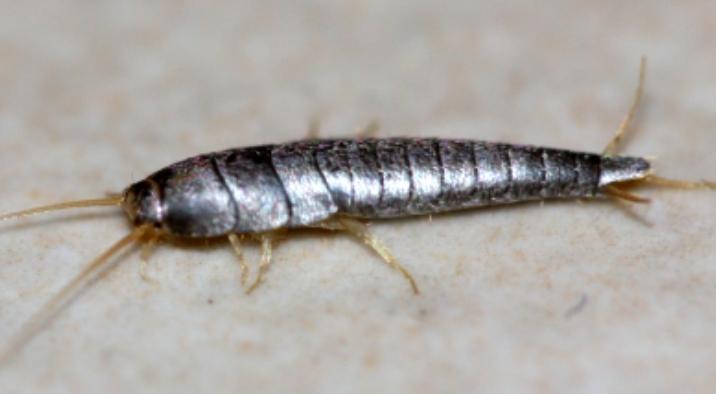 comment lutter contre les poissons d 39 argent ces petits insectes qui font des d g ts trucs. Black Bedroom Furniture Sets. Home Design Ideas