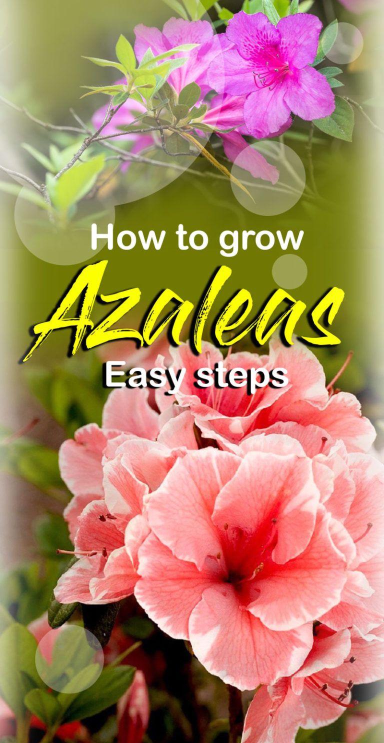 How to grow Rhododendron and azalea Azaleas landscaping