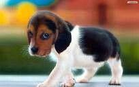 Beagles are................ CUTE!