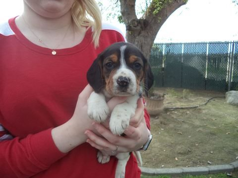 Beagle puppy for sale in FRESNO, CA. ADN71748 on