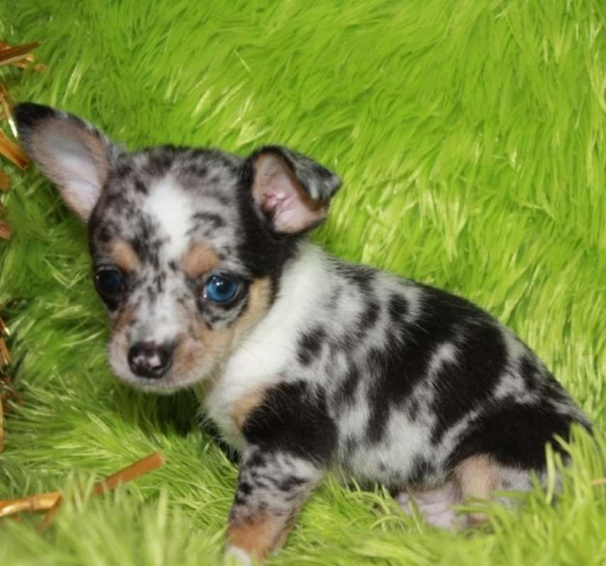 Micro Teacup Chihuahua Puppies For Sale On Long Island