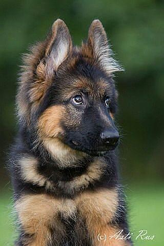 German Shepherd Vs Labrador In Hindi Puppies German Shepherd