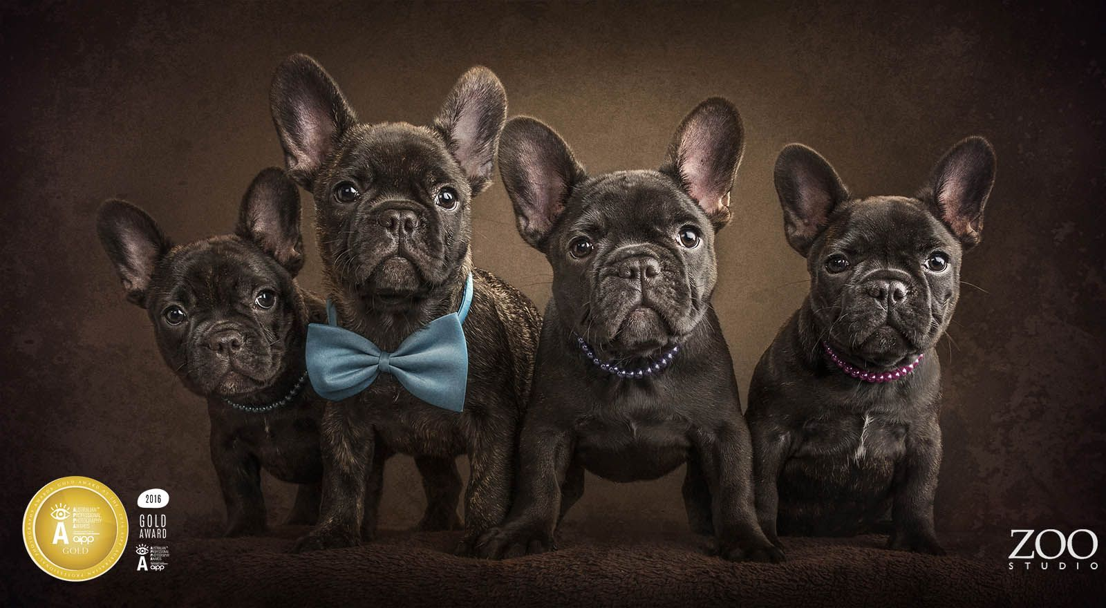 Gold Award Winning Puppies French Bulldog