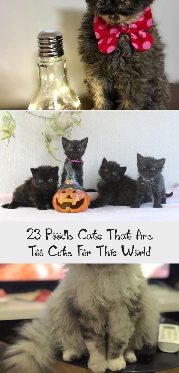 23 Poodle Cats That Are Too Cute For This World World Cat