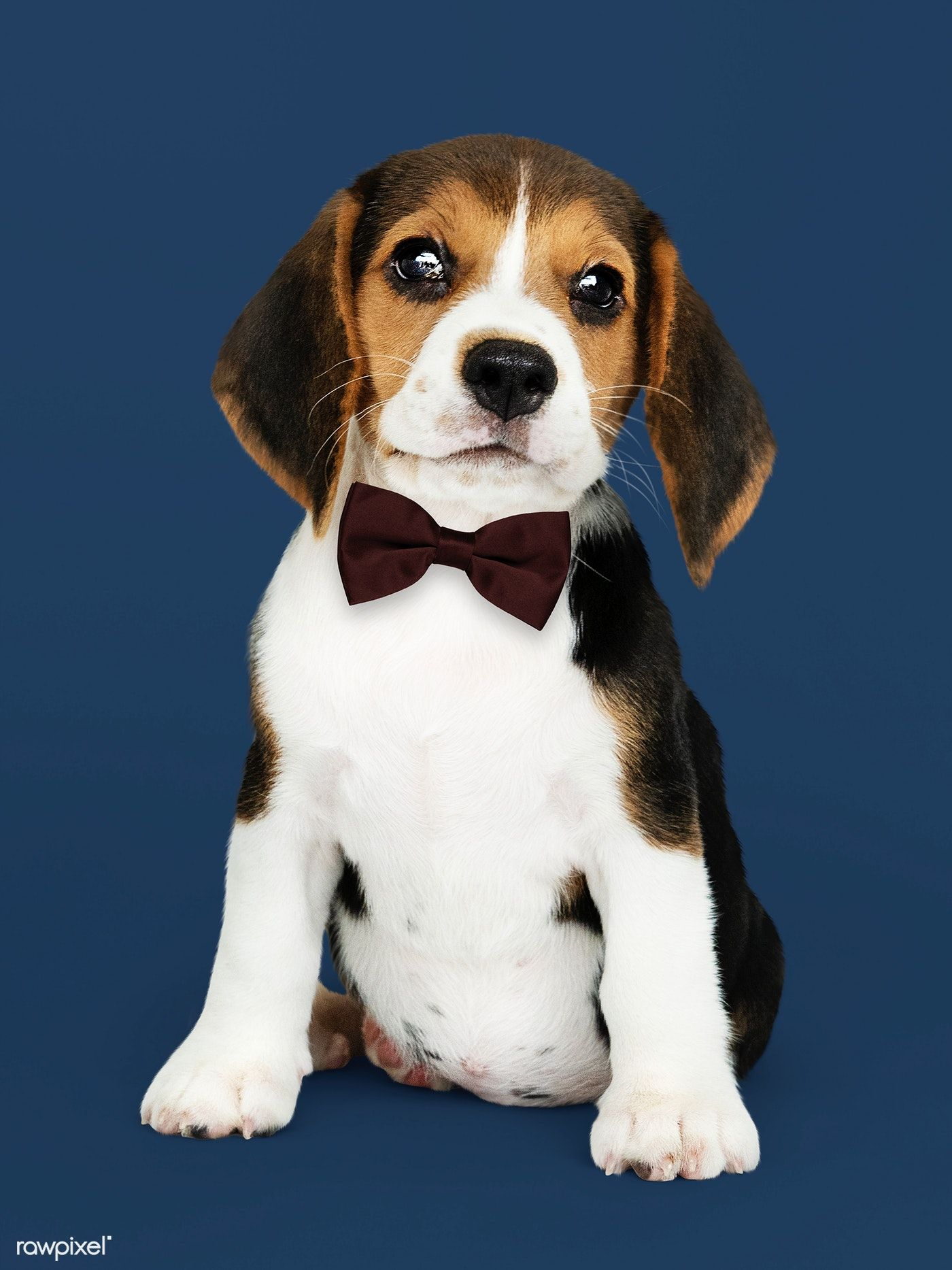 Download Premium Photo Of Cute Beagle In A Dark Brown Bow Tie