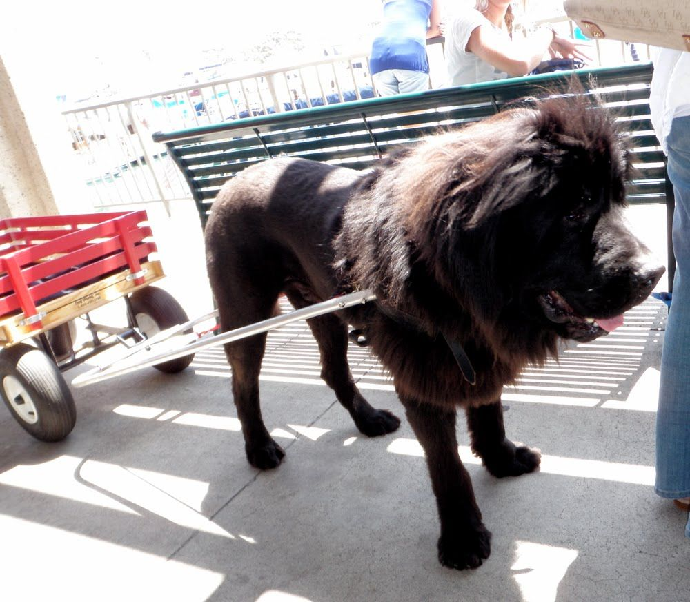 Newfoundland Lion Haircuts Dog Parade Noelle O Designs