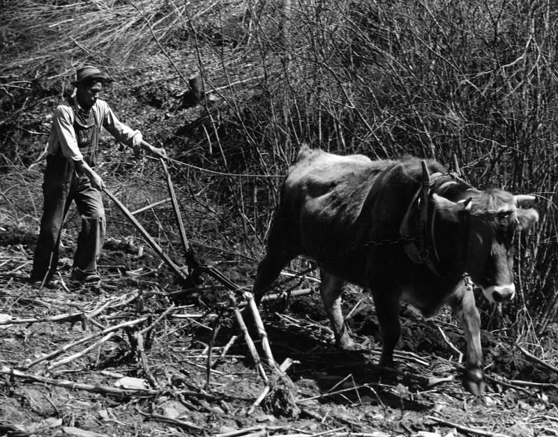 Farmer with ox pulling plow in field, Cumberland, Middlesboro, Kentucky.