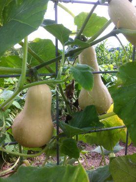 Waltham Butternut Squashes On Vine Edible Garden Squash Plant Growing Food