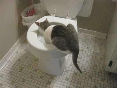 Pictures Of My Cat Drinking Out Of The Toilet He Sleeps All Day Then Gets Wild At Night Attack Charlie Drinks Out Of The Toil Wild Cats Cat Drinking Cats