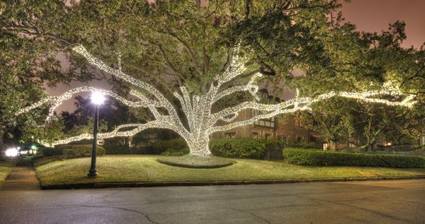 Live Oak Wrapped In White Christmas Lights In River Oaks