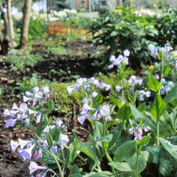 Virginia Bluebells   Shade garden plants, Plants, Shade plants