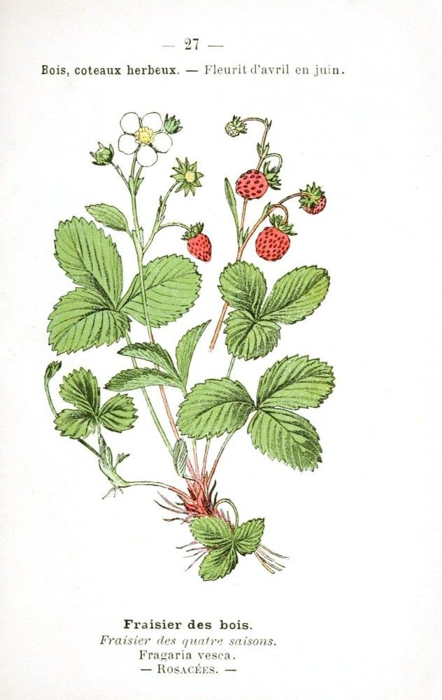 Strawberry Anatomy Gallery | tattoo | Pinterest | Drawing flowers ...