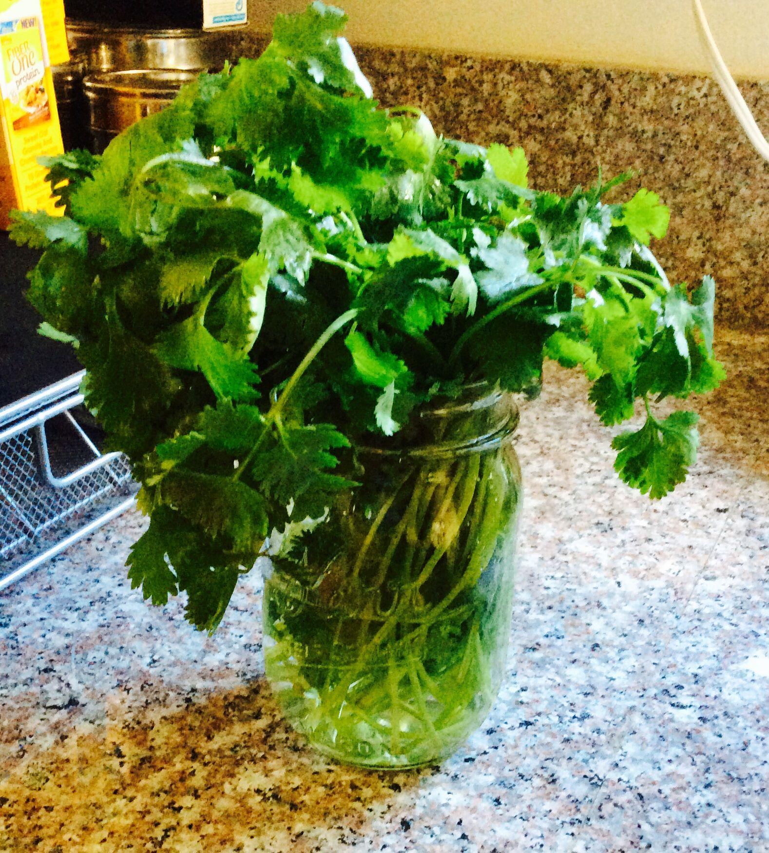 How i keep my cilantro fresh with images cilantro fresh