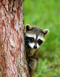 A Small Raccoon Peeks Out From Behind A Tree In The Great