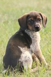 I Found Puddles On Adoptable Beagle Beagle Dog Puppies Kitties