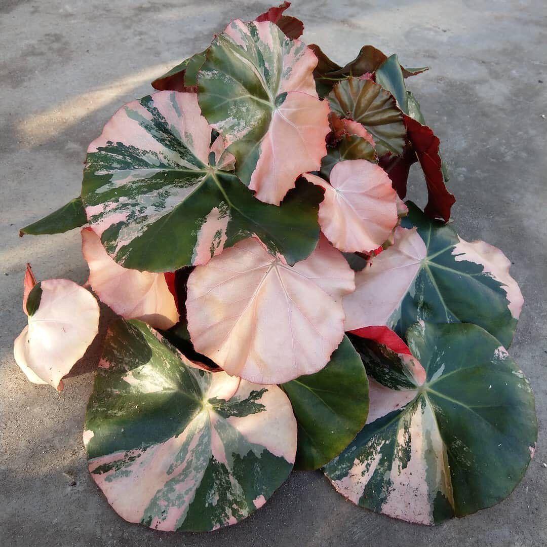 Begonia Erythrophylla Variegata In 2020 Plants Plant Care Houseplant Variegated Plants
