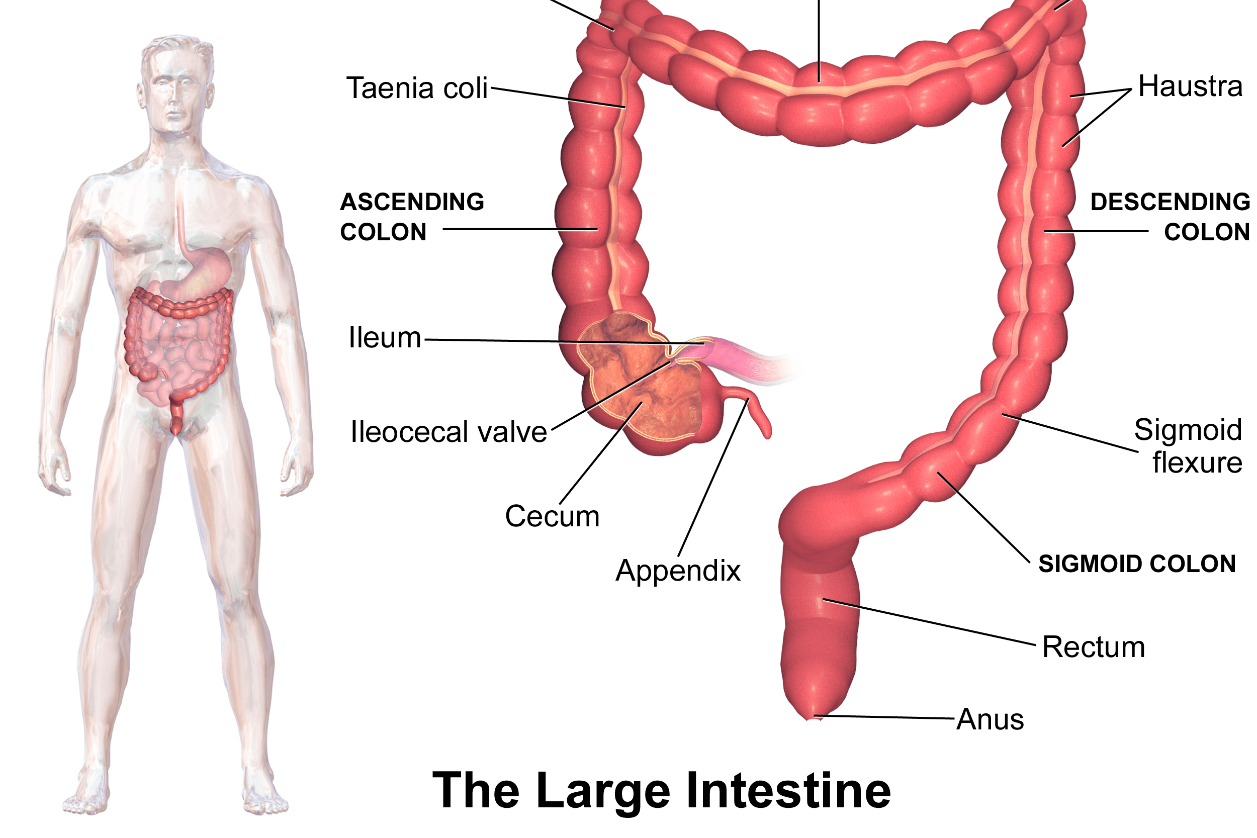 What Is The Definition Anatomy And Function Of The Large Intestine