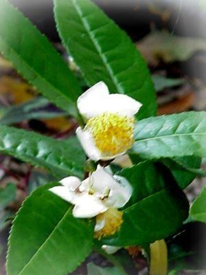 Tea Camellia Sinensis With Images Tea Plant Herbal Tea Benefits Plants