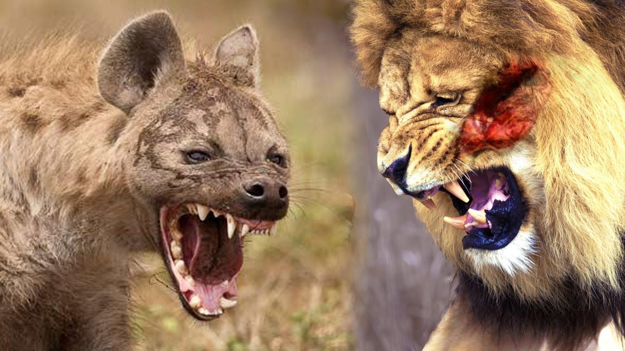 Lions Hunting hyena real fight animal documentary