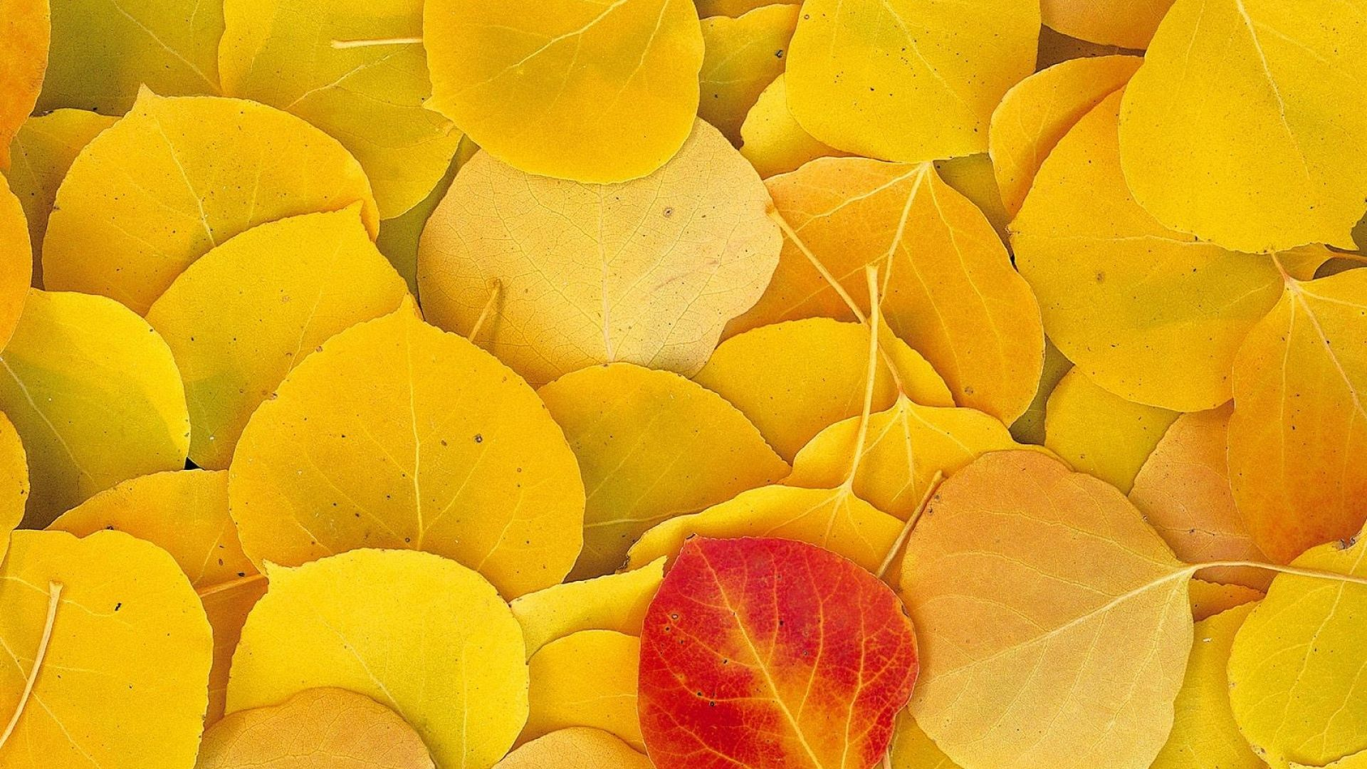 leaves, autumn, birch - http://www.wallpapers4u.org/leaves-autumn-birch/