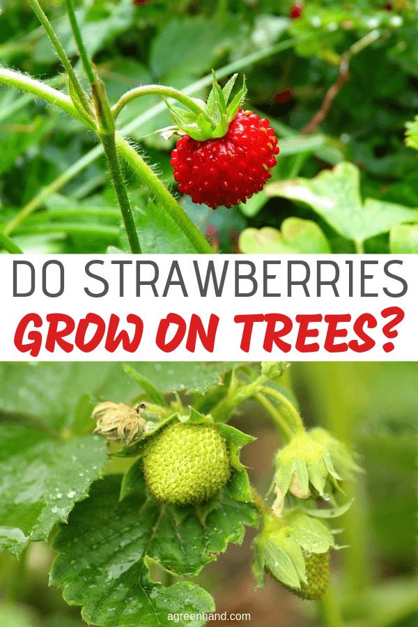 Do Strawberries Grow On Trees Growing Strawberries Planting Herbs Organic Gardening Tips