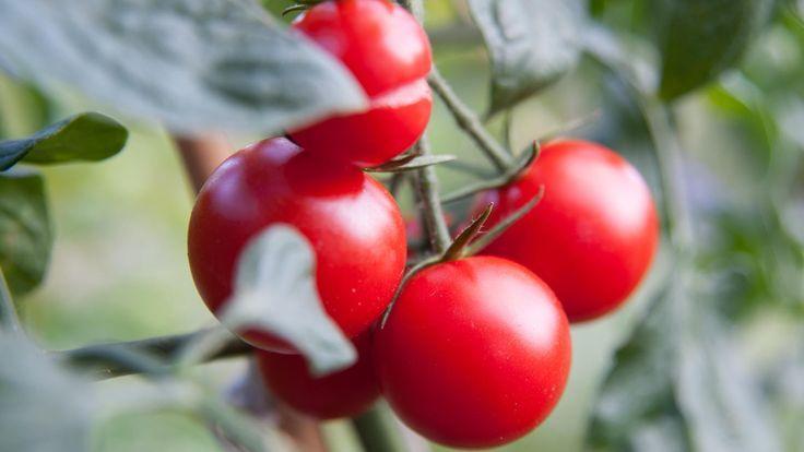 Diese Blätter sollten Sie bei Tomaten nicht entfernen #tomatenzüchten