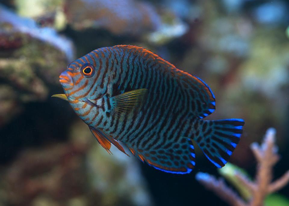 Rare Tropical Saltwater Fish Potter's An...