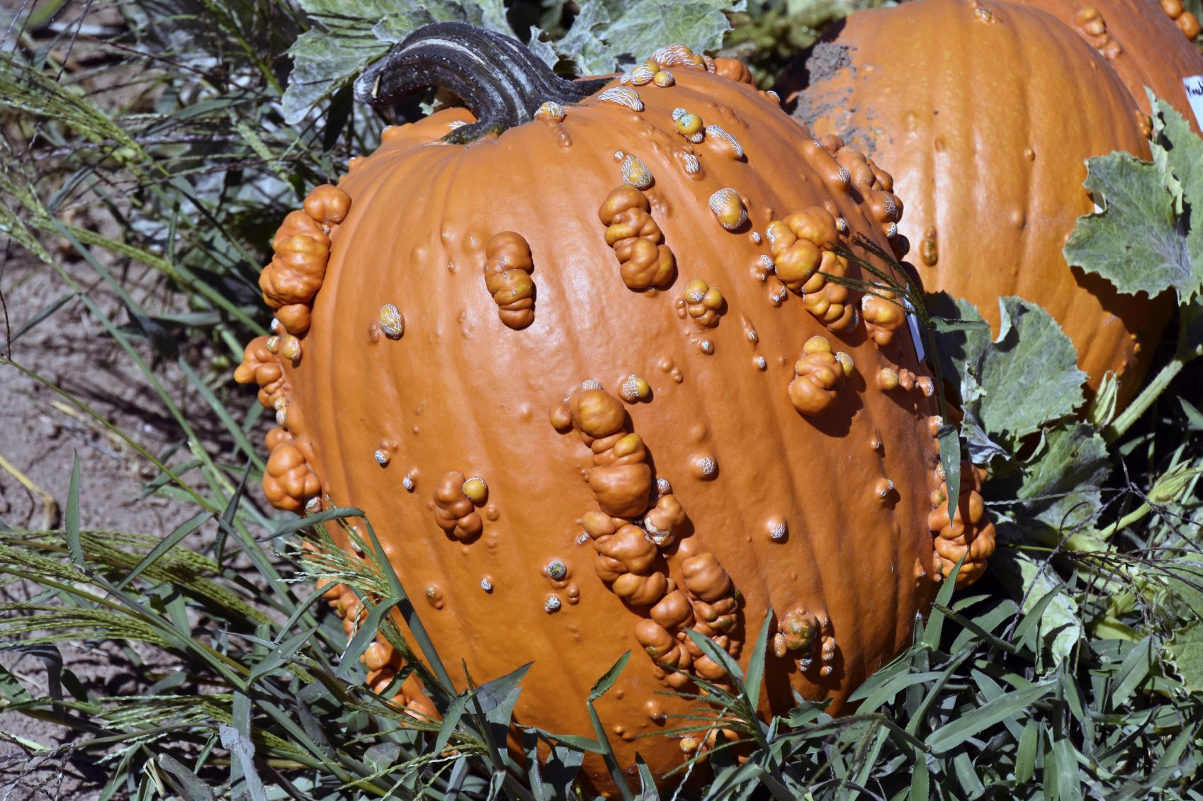 Bumpy Pumpkin Fruit Find Out What Causes Warts On