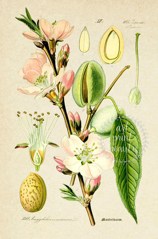 Almond Print Botanical Vintage Illustration Almond Tree