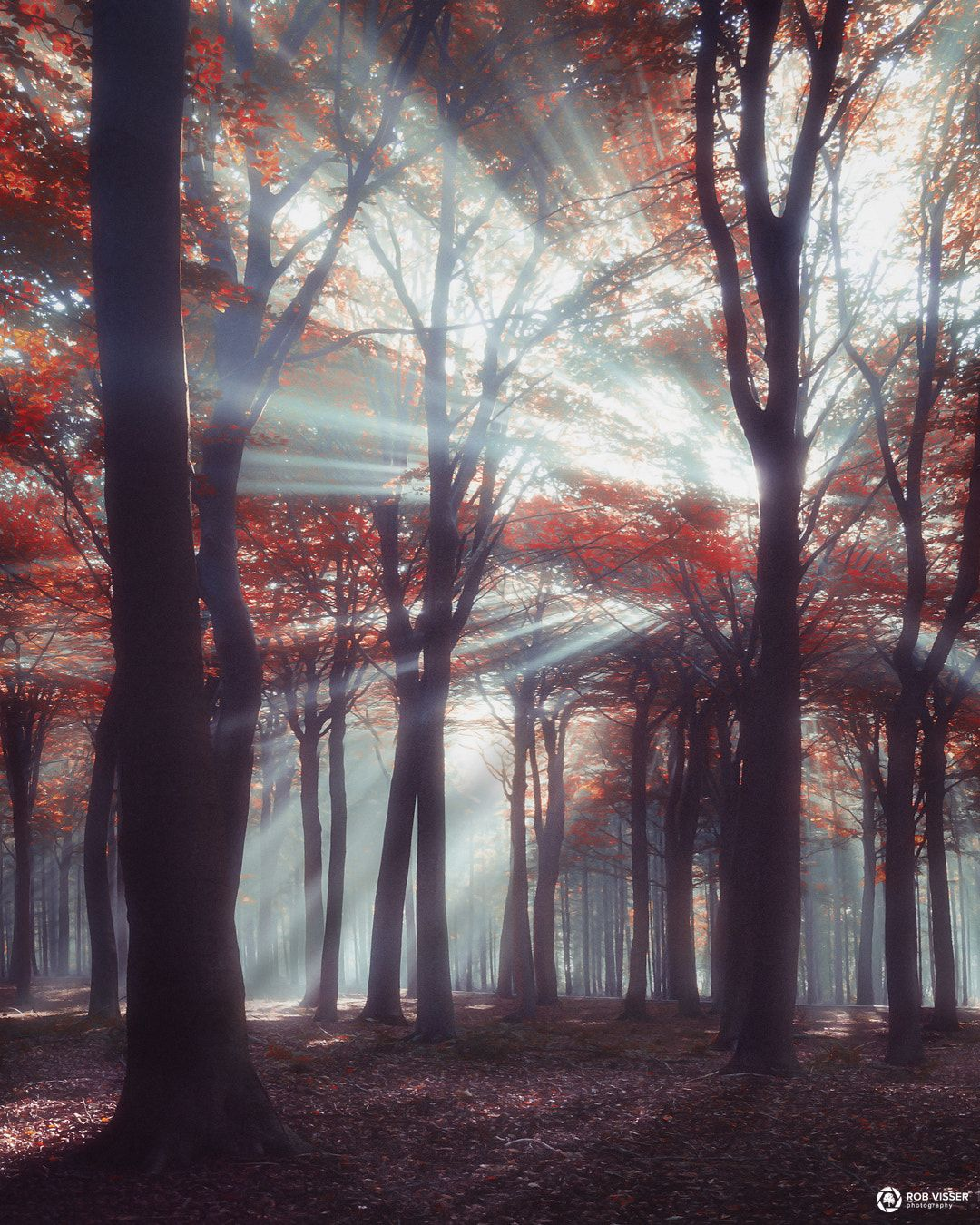 Blown out - Sunrays piercing through an autumn forest in the Netherlands.