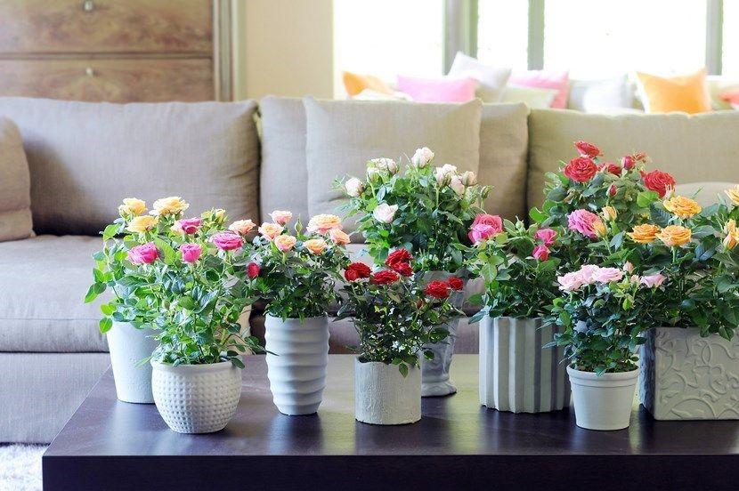 Consejos para cultivar rosas en macetas Plants - maceteros para jardin