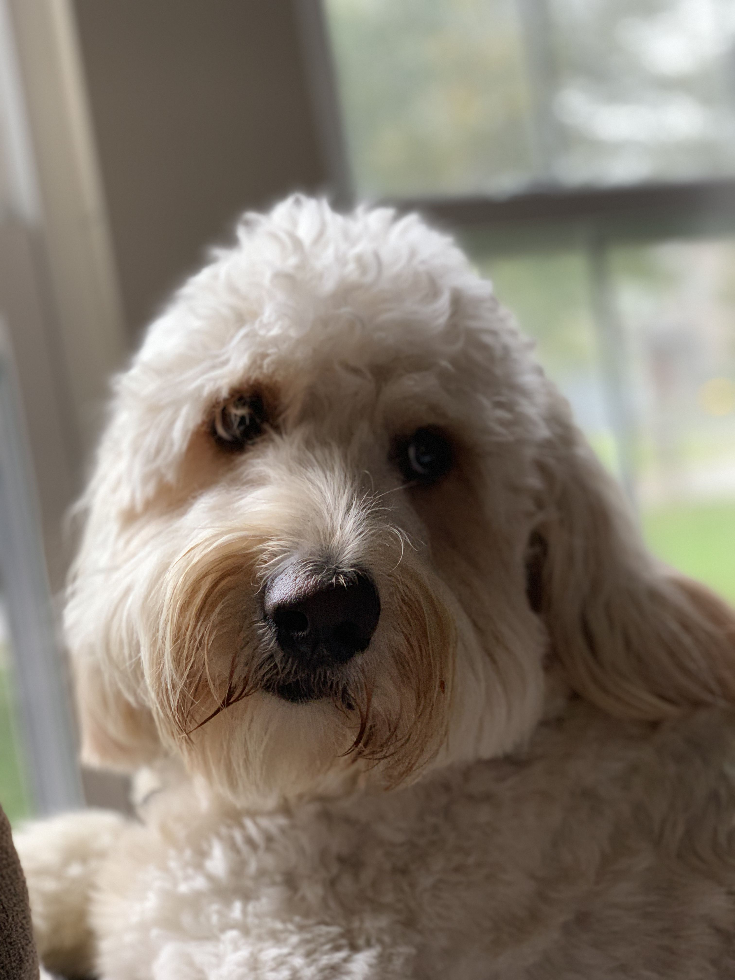 Harvey 2 Yrs Old 25 Poodle 75 Golden Retriever With Images