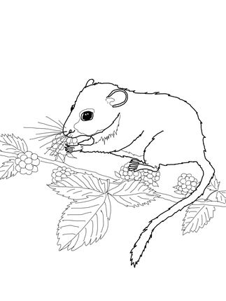 Dormouse Eating Berries Coloring Pages Free Printable Coloring