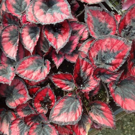 Begonia Red Kiss With Images Begonia Shade Plants Container