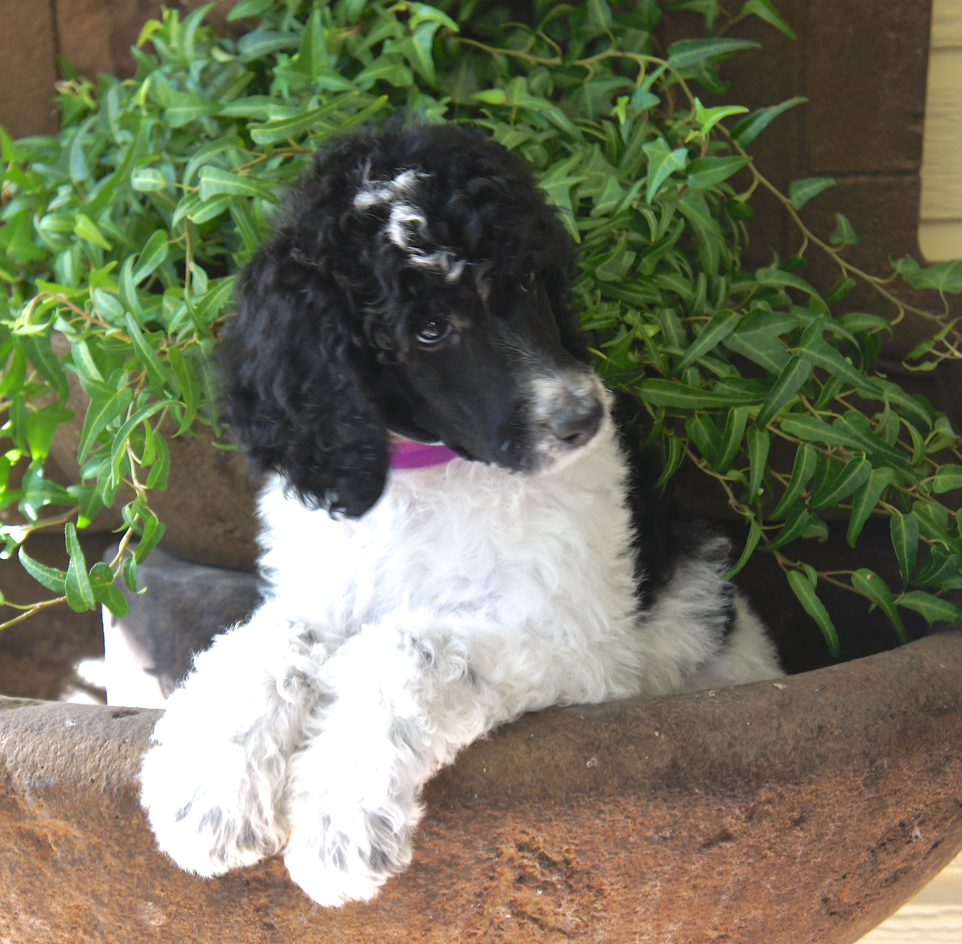 ADORABLE girl! Standard Parti Poodle puppy many more
