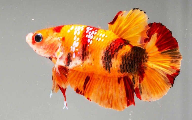 Cupang Nemo Hickey Fish Ikan Cupang Ikan Betta
