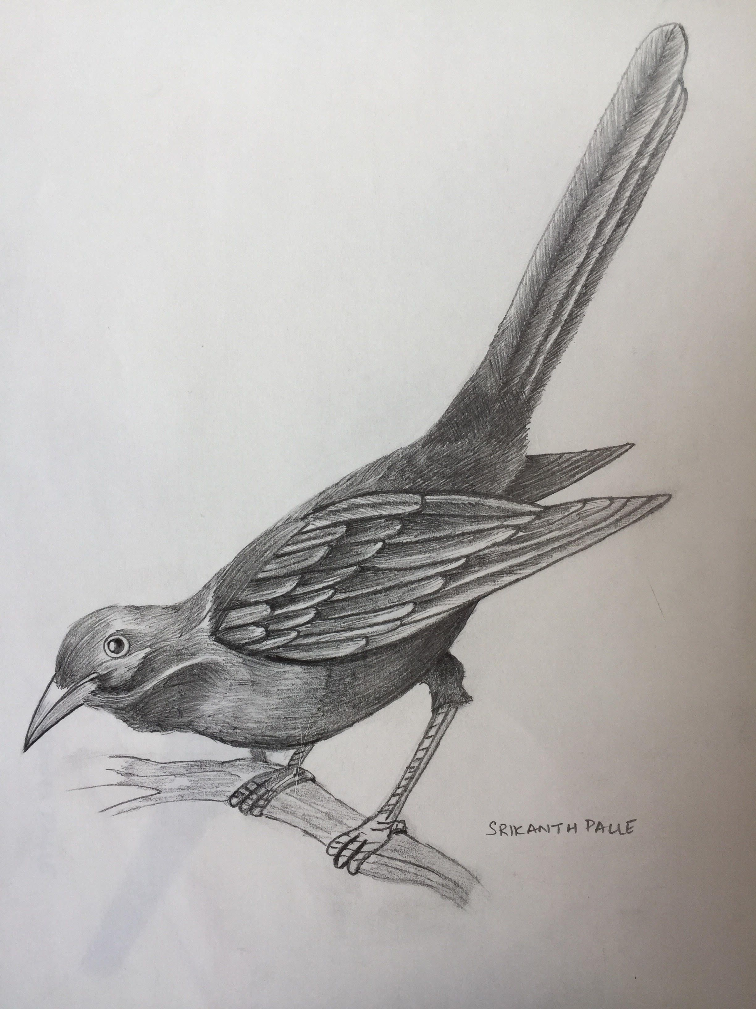 This is a pencil sketch on the bird koel
