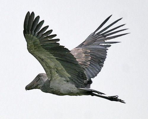 A view of the Shoebill in flight (Balaeniceps rex) found in wetlands of Sudan, Uganda, Tanzania, and Zambia.