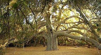 The Great Oak In Temecula Great Oak High School In South