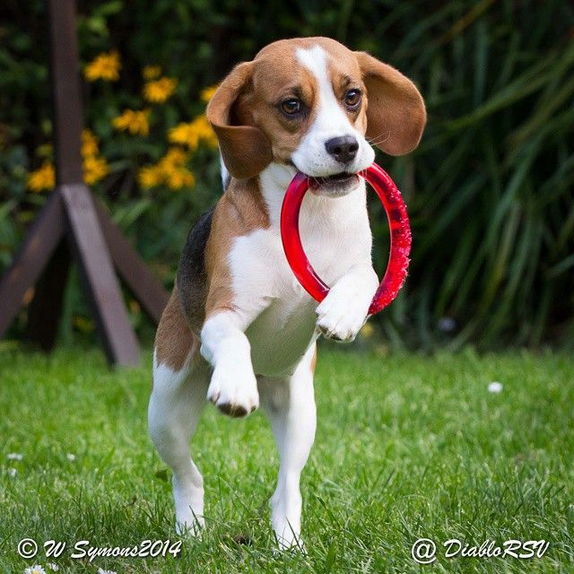 Playful Beagle Puppy Beagle Puppy Beagle Hound Baby Beagle
