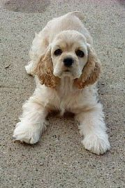 Darling Pup From Marco S Breeder Bailey S Cockers In Michigan American Cocker Spaniel Cute Dogs Spaniel Breeds