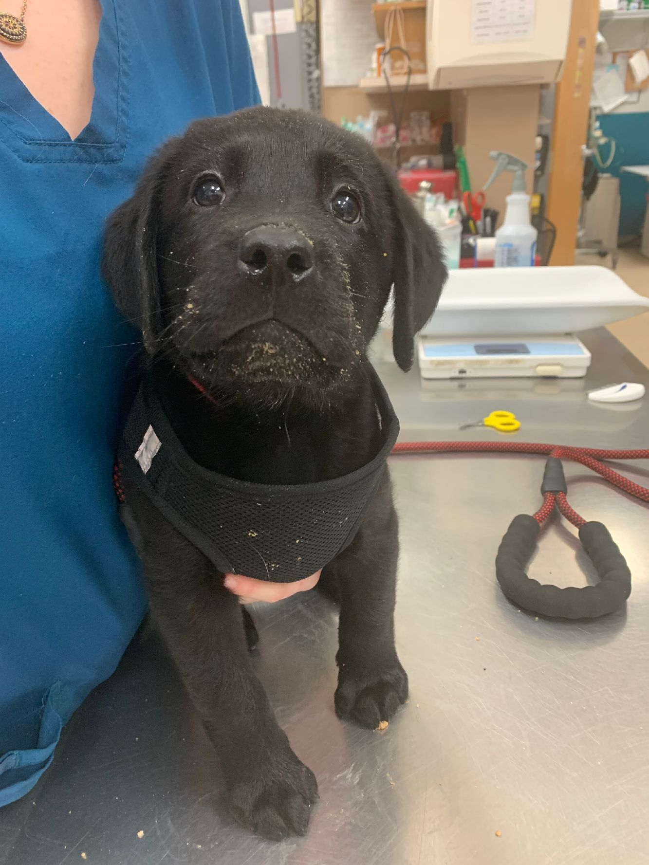 Today's awww.... Meet Sawyer! He's an 8 week old Lab puppy